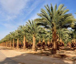 Hadiklaim – Israel Date Growers' Cooperative